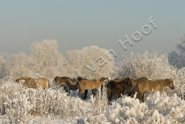 Koniks in winter PVH2-21819