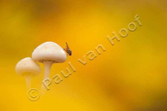 Porseleinzwam met vlieg; Porcelain fungus with fly PVH7-08645
