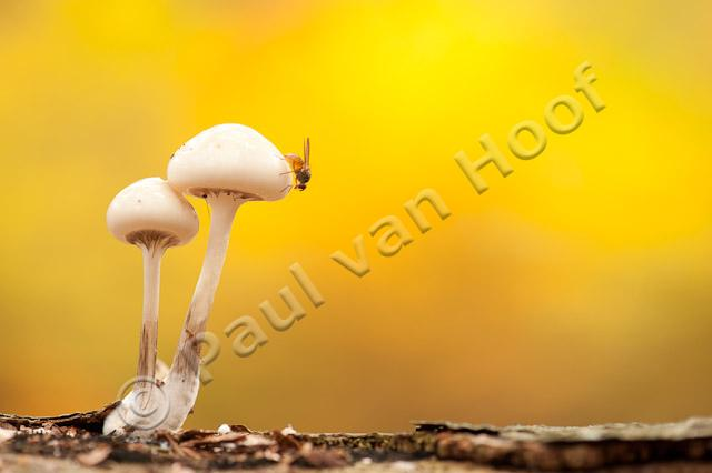 Porseleinzwam met vlieg; Porcelain fungus with fly PVH7-08625