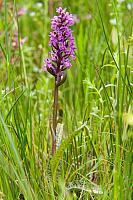 Brede orchis PVH3-37238