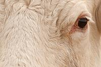 Close-up Charolais koe PVH3-42473
