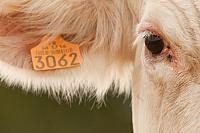Close-up Charolais koe PVH3-42475