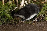 Waterspitsmuis PVH2-0740