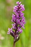 Brede orchis PVH3-37256-Edit