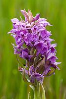 Brede orchis PVH3-37342