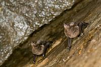 Greater sac-winged bat PVH70b-2088