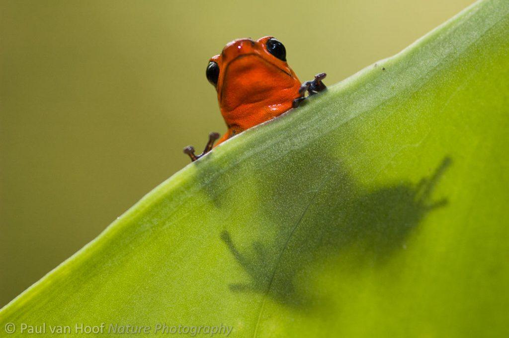 Aardbeikikker; Strawberry poison dart frog (Oophaga pumilio)