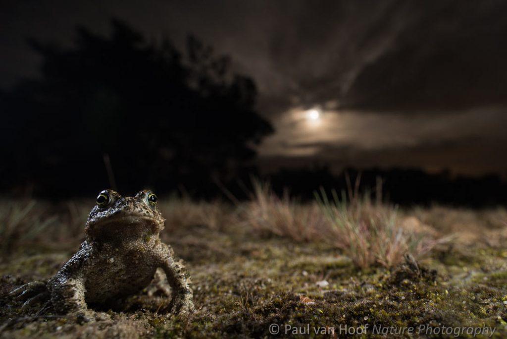 Rugstreeppad; Natterjack toad; Epidalea calamita